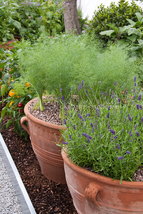 Fennel anise growing in clay pots, Lavandula angustifolia English lavender herbs