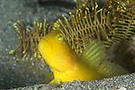 Banded Shrimp Goby, Cryptocentrus cinctus