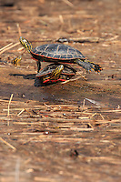 """""""Balancing Act in the Sun""""<br /> <br /> I have seen this turtle balancing act only once in my life. I was lucky enough to be in the right place, at the right time, to photograph it.<br /> ~ Day 52 of Inspired by Wilderness: A Four Season Solo Canoe Journey"""
