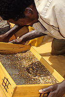Tortiya, Ivory Coast (Cote d'Ivoire).  Sifting for Diamonds in a River Bed.