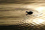 Early morning sunlight reflects off the water and an American coot (Fulica americana) foraging for food.
