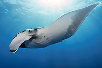 giant oceanic manta ray, Mobula birostris, formerly Manta birostris, Socorro Island, Revillagigedo Islands, Mexico, Pacific Ocean