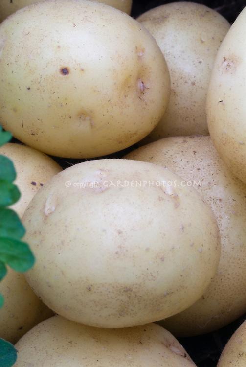 Potatoes 'Accord' round white skinned