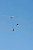 Parana, Brazil. Three birds on three wire cables.