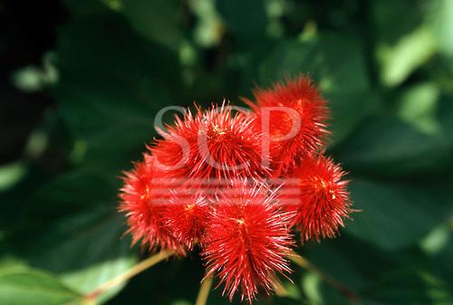 La Lope, Gabon. Urucum - Bixa orellana; bright red spiny pods.