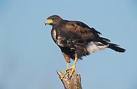 Harris's Hawk, Parabuteo unicinctus, adult, Willacy County, Rio Grande Valley, Texas, USA