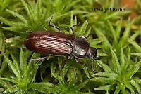 1C33-555z Darkling Beetle or Mealworm Adult, Tenebrio molitor
