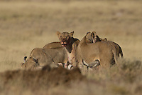 Lioness hunt in Etosha, Namibia Lioness hunt at Charitsaub Water Hole in Etosha, Namibia