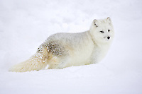 Arctic Fox pauses while walking through the snow - CA