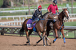 OCT 26 2014:Miss Serendipity, trained by Ron McAnally, exercises in preparation for the Breeders' Cup Filly and Mare Turf at Santa Anita Race Course in Arcadia, California on October 26, 2014. Kazushi Ishida/ESW/CSM