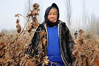 CHINA, autonomous province Xinjiang, Kashgar , uyghur women harvest cotton during winter / CHINA, autonome Provinz Xinjiang, Dorf bei Kashgar , uigurische Frauen pfluecken Baumwolle im Winter bei Minus 10 Grad