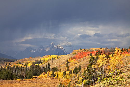 Red and Yellow aspens in Jackson Hole
