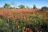 In this image, Indian Paintbrush paint a Texas Hill Country landscape vibrant red color as far as the eye can see turning a field in to a vast red bucket of vibrant color picturesque landscape with prickly pear cactus and Mesquite trees - Stock Image