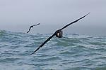 Northern Giant Petrel (Macronectes halli) and Cape Petrel (Daption capense) gliding over ocean, Kaikoura, South Island, New Zealand