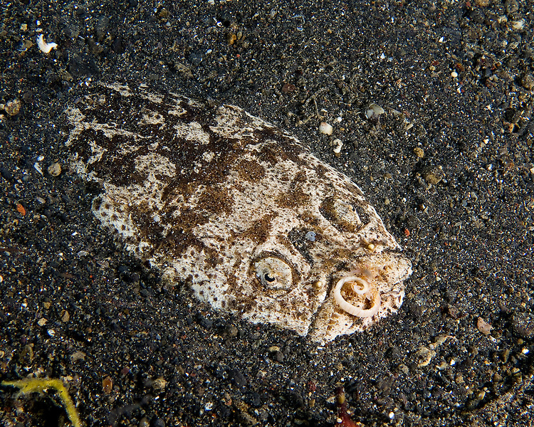 """The Stargazer is an ambush predator that hunts at night.  It buries itself in the sandy bottom, creating a shallow depression with only its """"face"""" exposed.  The fish will remain completely motionless -- a fixture in the bottom.  Until an edible-size fish seeks refuge in its sandy depression.  Then: Meal time.  What surprises many divers is the Stargazer's long tongue -- revealed when it """"grabs"""" a meal.  This shot was triggered when the stargazer grabbed a passing small fish.  The strike was too fast to catch all the action, but notice the curl of tongue still exposed."""
