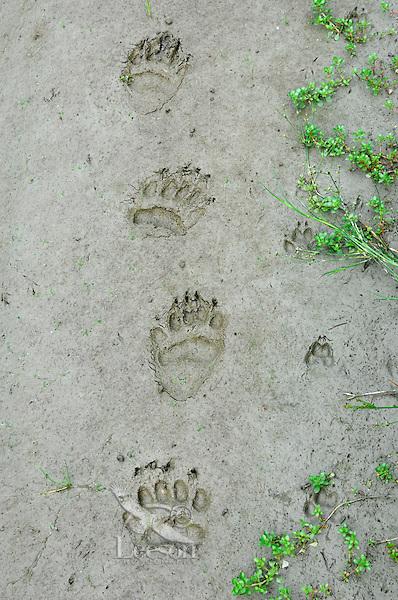 Black Bear  (Ursus americanus) tracks with coyote (Canis latrans) tracks in mud along pond edge.  Western U.S., summer..Most also display bird tracks on left side of bear tracks..