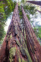 Redwood Trees, Sequoia sempervirens, in Muir Woods National Monument, Marin County, California