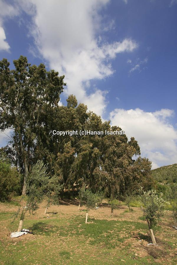 Israel, Jerusalem Mountains, Eucalyptus trees in Ein Mata (Mata spring)