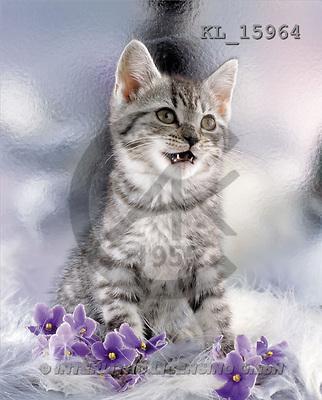 Interlitho, Alberto, ANIMALS, cats, photos, grey cat, violets(KL15964,#A#) Katzen, gatos