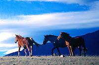 Herd of Free Roaming Wild Horses in Field, Cariboo Chilcotin Coast Region, BC, British Columbia, Canada