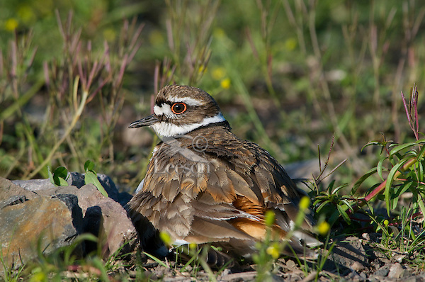 Killdeer (Charadrius vociferus) sitting on nest.  Western U.S., Spring.
