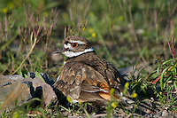 Killdeer (Charadrius vociferus) sitting on nest.  Western U.S., Spring.