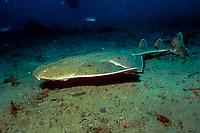 Pacific angel shark Squatina californica California, USA, East Pacific Ocean