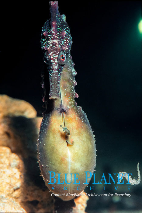 White's seahorse, (c), Hippocampus whitei, pregnant male, releasing young from brood pouch, Australia