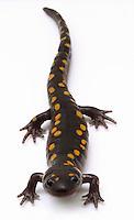 Spotted Salamander.Ambystoma maculatum