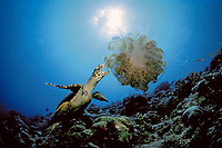 Hawksbill Turtle, Eretmochelys imbricata, feeding on jellyfish, Maldives Islands, Ari Atoll, Indian Ocean