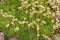 Furchen-Steinbrech, Gefurchter Steinbrech, Saxifraga exarata, Furrowed saxifrage