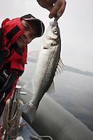 Europe/France/Bretagne/56/Morbihan/ Belle-Ile-en-Mer/Le Palais: Pêche en mer au bar un pêcheur et sa prise sur le bateau d' Arnaud de Wildenberg Moniteur Guide de Pêche