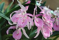 Brassanthe aka Brassocattleya Maikai 'Invincible', CCM/AOS primary orchid hybrid of Brassavola nodosa x Guarianthe bowringiana)