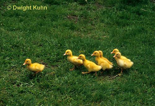 DG20-104z  Pekin Duck - four day old ducklings