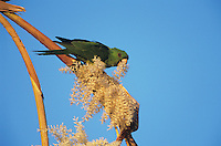 Green Parakeet, Aratinga holochlora, adult eating on palm tree blossom, Brownsville, Rio Grande Valley, Texas, USA