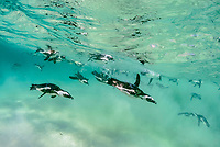 African penguin, Spheniscus demersus, adults, swimming underwater, Boulders Beach, False Bay, Simons Town, South Africa