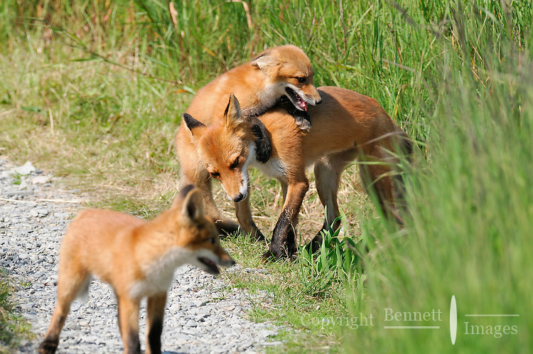 A red fox plays with her kits in Alaska's McNeil River State Game Sanctuary.
