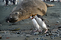Don't look or we'll be lunch! - Two Royal penguins walking past a female elephant seal at Sandy Bay, Macquarie Island.