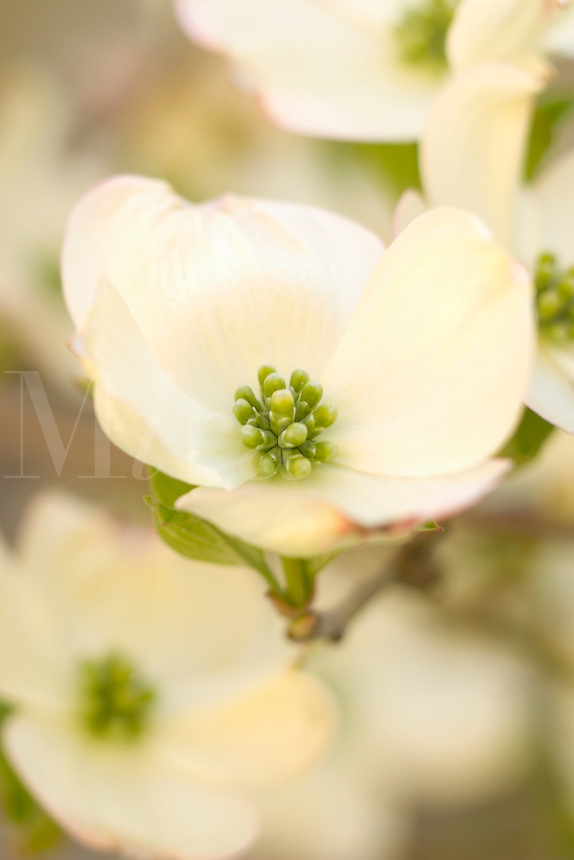 Cherokee Princess Flowering dogwood DeciduousTree, Cornus florida