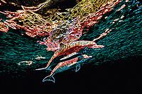 Digital composition Neon Color Dolphins - Atlantic spotted dolphin, Stenella frontalis, Bimini, Bahamas, Caribbean, Atlantic