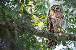 Damon, Texas; a juvenile barred owl sitting on a tree branch, absorbing the last sunlight of the day