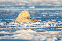 "Using his paws and his head to crash through the ice on the surface, a large male Polar Bear (Ursus maritimus) does his best ""Superman"" imitation. Incredibly powerful swimmers with plenty of blubber for insulation, the Polar Bears we saw in Kaktovik seemed to really enjoy swimming in the icy bay."
