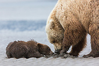 Coastal Brown bear cub begs for a clam from its mother, Lake Clark National Park, Alaska.