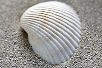 White Ark sea shell and beach sand.
