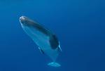 Dwarf Minke Whales