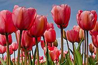 Tulips of Skagit Valley Washington