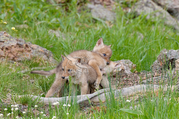 Wild Coyote (Canis latrans) play not far from their den.  Western U.S., June.