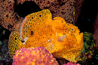 longlure frogfish or anglerfish, Antennarius multiocellatus, The Garden, St. Vincent, Saint Vincent & the Grenadines (Eastern Caribbean Sea)