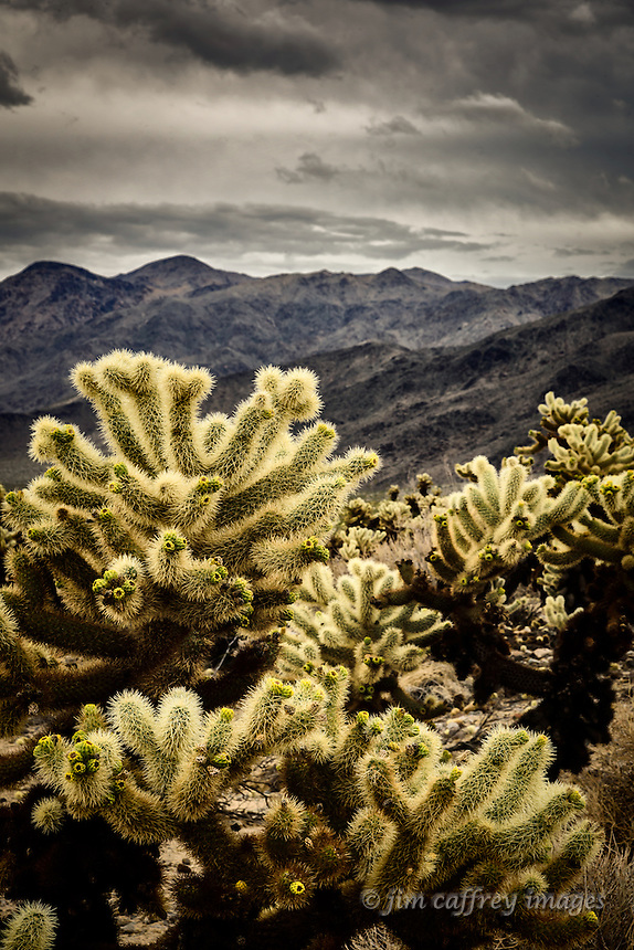 Teddy Bear Chollas catch the light which accentuates their barbed spines at the Cholla Forest in California's Joshua Tree National Park.
