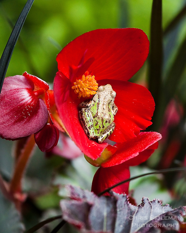 Pacific Tree Frog sitting in the red flower of a begonia surrounded by black mondo grass